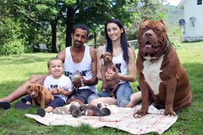 Разведение собак породы питбультерьер